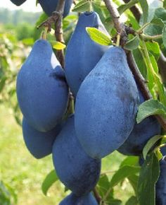 Long John plum is a mid-season prune-type, large and dark blue in colour: i have found a blue fruit yippie its the best day ever