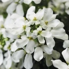 Iberis: Candytuft