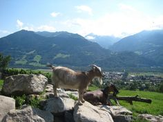 Can't wait! Goats on a Heidiland and Liechtenstein Tour from Zurich.