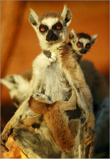 Ring-tailed Lemur (Lemur catta) mother with twins, Madagascar, by Cyril Ruoso