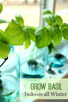 How to grow basil indoors all winter long without any dirt. Harvest fresh herbs all year with nothing more than water, basil, and a windowsill. http://melissaknorris.com/2014/02/26/growbasilindoorsallwinter/ Repin!