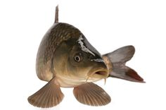 Wild Carp: An Excellent Source of Food - Real Food - MOTHER EARTH NEWS: Buffalo & Carp like Salmon are very oily fish and are delicious when smoked. Carp Fishing Tips, Carp Fishing Bait, Carp Fishing Tackle, Fishing Lakes, Fishing Rigs, Fishing 101, Fish Illustration, Illustrations, Carp Recipes