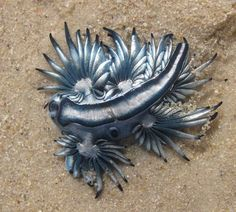 Another weird creature of the open ocean cast up on Fish Hoek Beach: a Sea Swallow ( Glaucus atlanticus ) - a gastropod mollusc that has los. Beneath The Sea, Under The Sea, Glaucus Atlanticus, Ocean Aquarium, International Waters, Sea Slug, Underwater Life, Weird Creatures, Sea And Ocean
