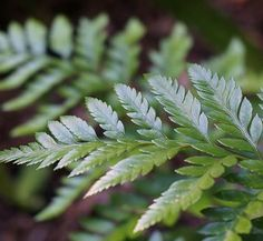 Plant in partial sun to light shade & well drained moist soil. Zones 8 to Height 12 to Evergreen.