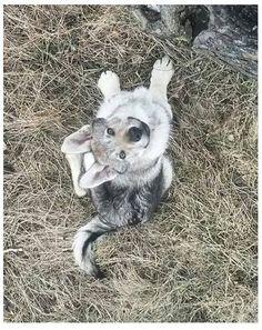 Czechoslovakian wolfdog, CSV, URUZ spod Ďumbiera, 3 months