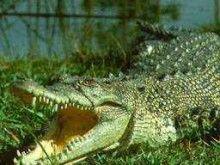 Tem medo de crocodilos?