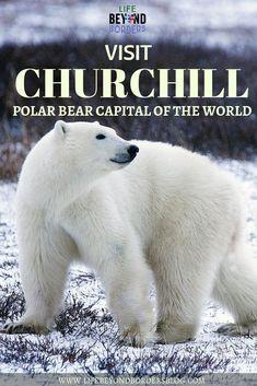 Visit the Churchill Polar Bears - Manitoba, Canada Alberta Canada, Visit Canada, Canada Canada, Canada Trip, Canada Travel, Travel Usa, Quebec, Churchill Polar Bears, Vancouver
