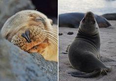 """Se Darwin se surpreendeu com as tartarugas de Galápagos, no Equador, a fotógrafaKinnara Bosworth voltou seu olhar para outros animais nestas ilhas: os leões marinhos. Ela passou uma semana no local e contou em uma postagem escrita para o site Bored Panda que simplesmente não conseguia resistir à fofura destes animais. Há quem diga que os leões marinhos são os """"cachorros do mar"""", por seu comportamento dócil e brincalhão. As fotos de Kinnara registram justamente isso. Na publicação, ela conta…"""