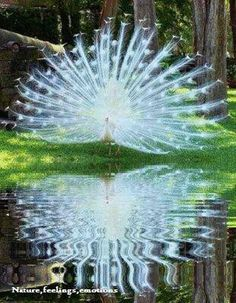White peacock looks like a big sparkler