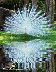White peacock looks like a big sparkler