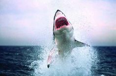 Caged! 4 Places for Great White Shark Encounters | Scuba Diving