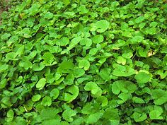 Pennywort - Wikipedia