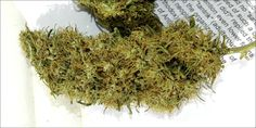 Panama Red: The Rare Sativa With Mellow Energy Thats Perfect...