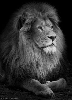 Male Lion Portrait by Wolf Ademeit. °                                                                                                                                                                                 More
