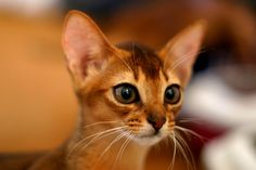 Abyssinian kitten, look at that little face