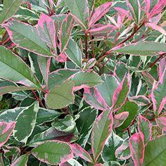 Nouvelle variété très originale par ses multiples coloris qui se superposent sur la plante : rouge, rose, vert et blanc crème...