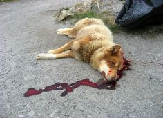 Protect Romania's Homeless Dogs | Please SIGN and share petition. Thanks.Year by year the same massacre! Stop with the excuses. But Romanian politicians are incompetent, stupid and thieves and they don't care about neither of humans nor animals rights. There are more effective ways to solve the problem of dogs overpopulation  that gangs of murderers who go around slaughtering innocent dogs often also dogs loved and fed by locals!