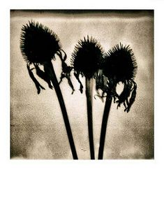 Expired Purple Coneflowers | by Northwoods Apparition