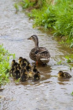 Female mallard duck with 14 newly hatched ducklings,
