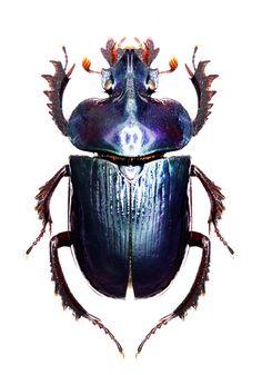 Ceratophyus martinezi. Encajaría cualquier capa de armadura. Muy bello escarabajo de hecho.