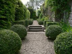 buxus in gravel