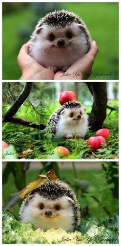 Tive um ouriço a quem dei maçãs, mas não era tão sorridente, será porque as minhas maçãs eram verdes?