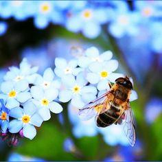 Vedeli ste, že včely sú jediný hmyz, ktorý produkuje potravu pre ľudí? #vcela  #hmyz # #zdravie #zdravavyziva #apiterapia #kvety