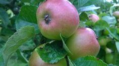 J jak jabłoń
