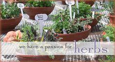 Herbs for fairy gardens!