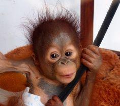 Please help me and support orangutan conservation #orangutanodysseys