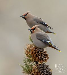 Bohemian Waxwings, Yellowstone National Park WY by Juan Pons on Pretty Birds, Love Birds, Beautiful Birds, Birds 2, Wild Birds, Yellowstone National Park, National Parks, All Nature, All Gods Creatures