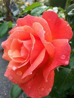 Amazing Flowers, Beautiful Roses, Hawaiian Gardens, Twinkle Star, Flower Wallpaper, Rainbow Colors, Planting Flowers, Orchids, Cactus