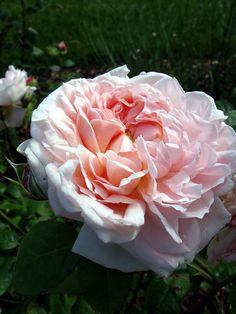 Rose 'Eglantyne' Rosa floribunda