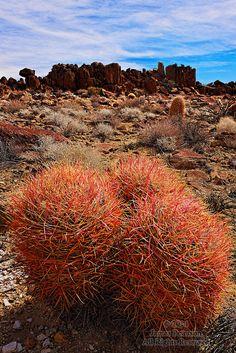 Red Barrel Cacti, Mojave Desert, California by James Peterson #GeorgeTupak