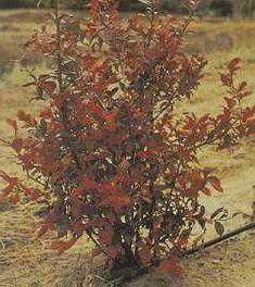 La couleur vive du feuillage à l'automne ajoute à la valeur ornementale du bleuet en corymbe.