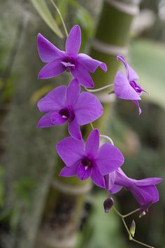 Cooktown oechid, Dendrobium bigibbum – state flower symbol of Queensland
