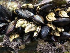 mussels essay