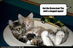 Get the Drano,hon! - LOLcats is the best place to find and submit funny cat memes and other silly cat materials to share with the world. We find the funny cats that make you LOL so that you don't have to. Pet Dogs, Dog Cat, Pets, Funny Cat Memes, Funny Cats, Crazy Cat Lady, Crazy Cats, I Love Cats, Cute Cats