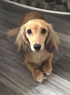 More About The Spunky Daschund Pup And Kids Dachshund Breed, Dachshund Love, Daschund, Long Haired Dachshund, Cute Dogs And Puppies, Baby Dogs, Doggies, Fluffy Animals, Cute Baby Animals