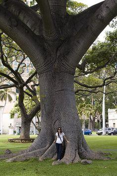 Giant tree in front of `Iolani Palace in Honolulu, Oahu, Hawaii