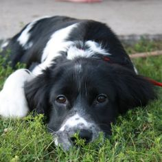 our baby Barrett -- springer spaniel