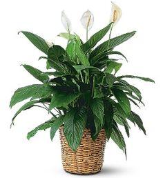 Large Spathiphyllum Plant  Item TF133-1