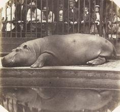 The hippopotamus at the Zoological Gardens, Regent's Park, London, 1852. Photograph by Don Juan Carlos, Count of Montizon.