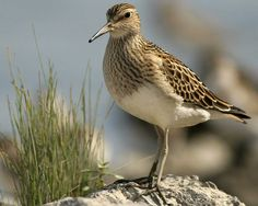 Pectoral Sandpiper  Calidris melanotos  Common spring and fall migrant