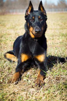 Beauceron by Mélynda Hébert Doberman Mix, Rottweiler Mix, Doberman Pinscher, Best Dog Breeds, Best Dogs, Lap Dogs, Dogs And Puppies, Black German Shepherd Puppies, Group Of Dogs