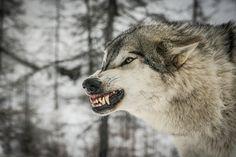 Не дразни, своим оскалом волка, У него оскал, ещё страшней, Волк, не нападёт на вас без толка, Не выходит первым из теней. И не ищет ссоры с человеком, Коль тот сам, не лезет на рожон, Только выстрел, отдаётся эхом… Справился? А был ли в том резон? Ты же стал теперь, бедней душою, В миг, когда нажал ты на курок, Как теперь, кровавою тропою, Ты пойдёшь по лесу на восток? Подойдёшь  к ручью, помоешь руки, Льётся в воду  красная слеза, И в кругах её, увидишь муки  В волчьих, отразившихся…