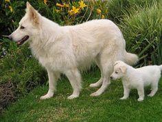 Mamma and kid! Long Haired German Shepherd, German Shepherd Puppies, German Shepherds, Collie, White Swiss Shepherd, Puppy Palace, Most Beautiful Dogs, Schaefer, Husky