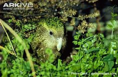 The kakapo is the world's only nocturnal and flightless parrot As the world's largest parrot, the kakapo is also the world's heaviest! The male kakapo produces a strange 'boom' call to attract potential mates, which can be heard up to 5 kilometres away! The kakapo does not reach sexual maturity until 9 to 10 years of age, and it only breeds every 2 to 5 years
