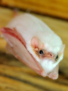 Northern Ghost Bat- looks like an old man about to yell at some damn kids to get off his lawn.