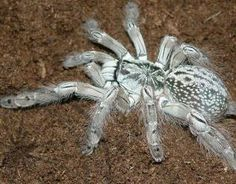 Throughout Sub-Saharan Africa, tarantulas are called Baboon spiders. This is the hauntingly magnificent Togo starburst baboon spider, Heteroscodra maculata.